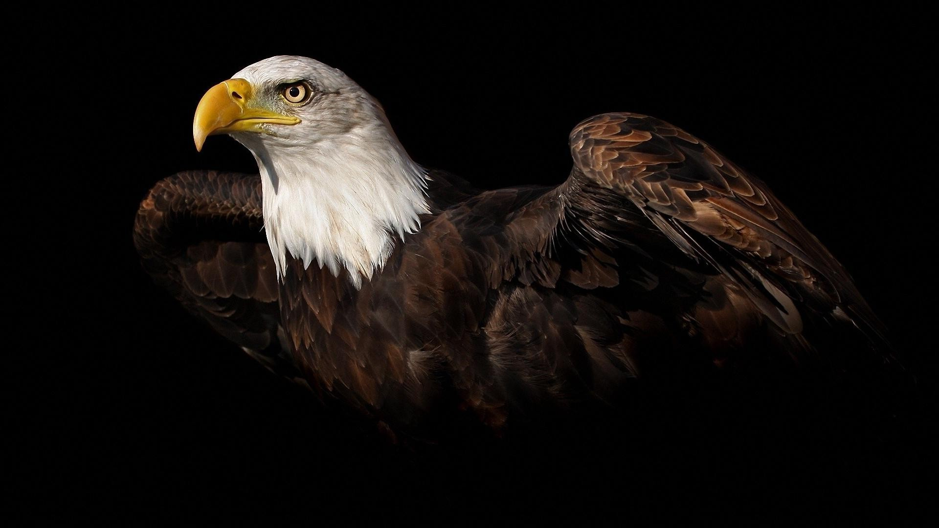 bald eagle wallpaper hd 006