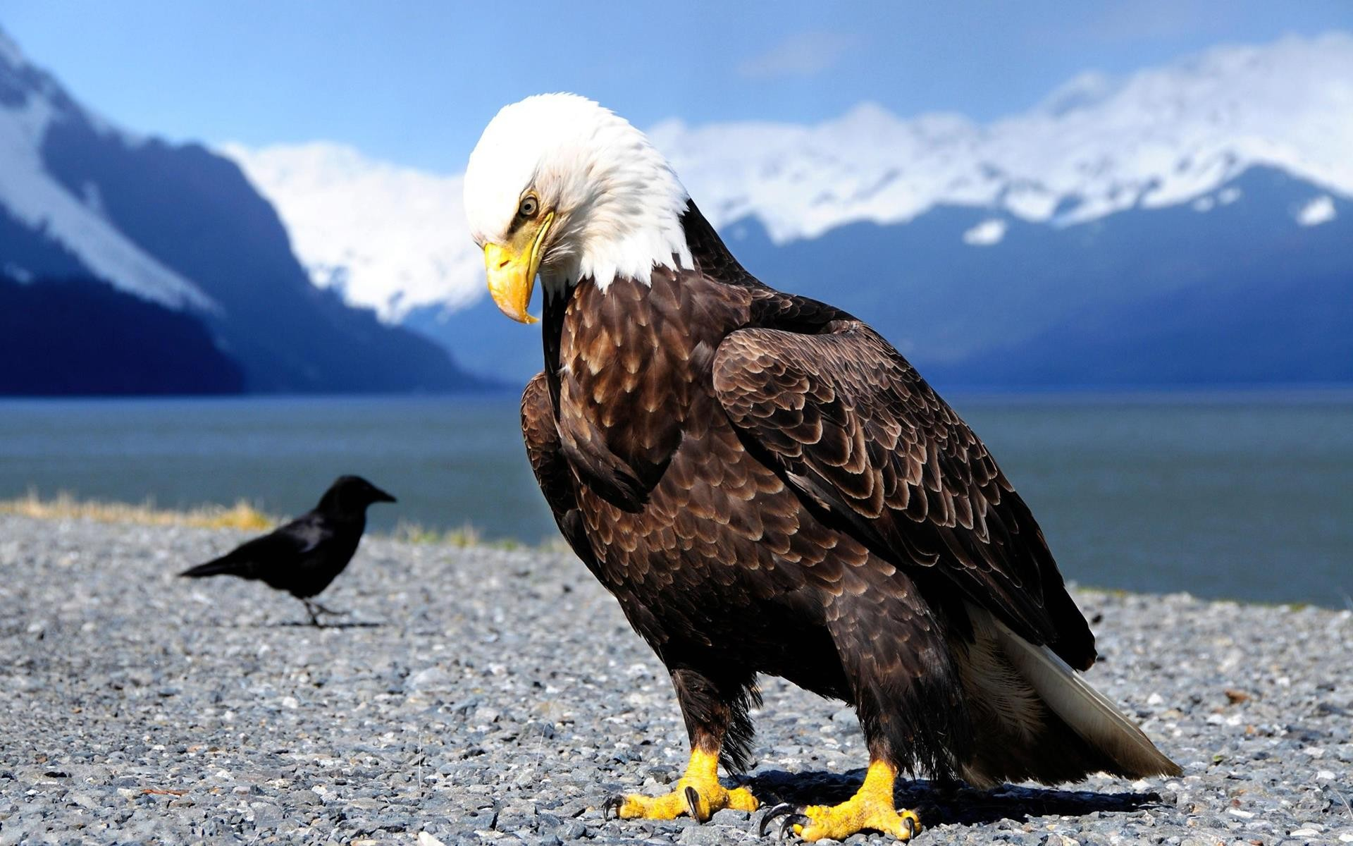 Bald Eagle Wallpaper Hd 010