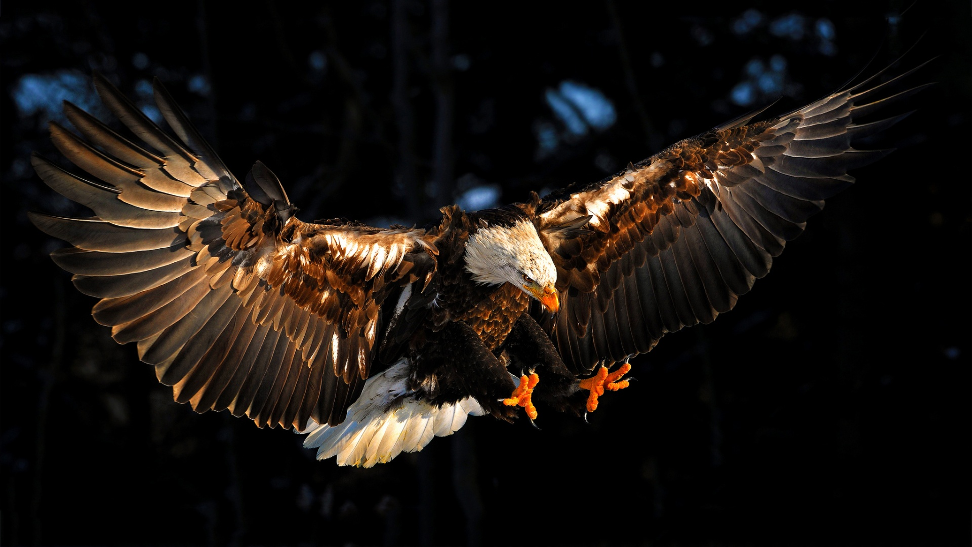 bald eagle wallpaper hd 012
