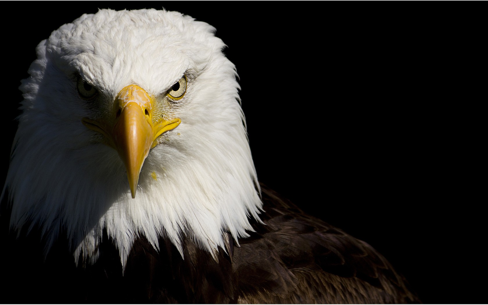 bald eagle wallpaper hd 014