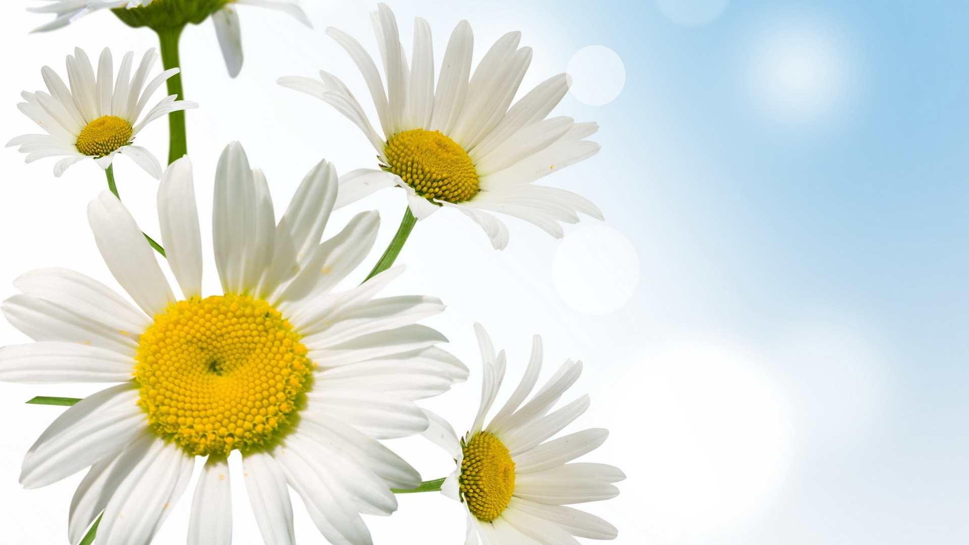 april  showers bring may flowers daisies download wallpaper
