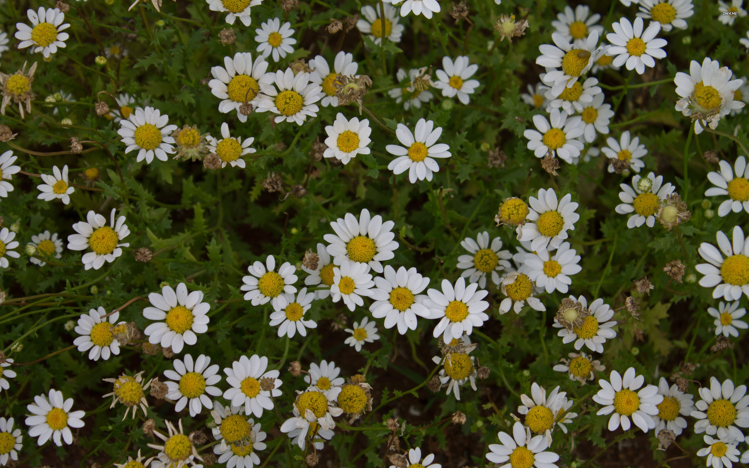 oxeye daisies amazing flower mobile background wallpaper