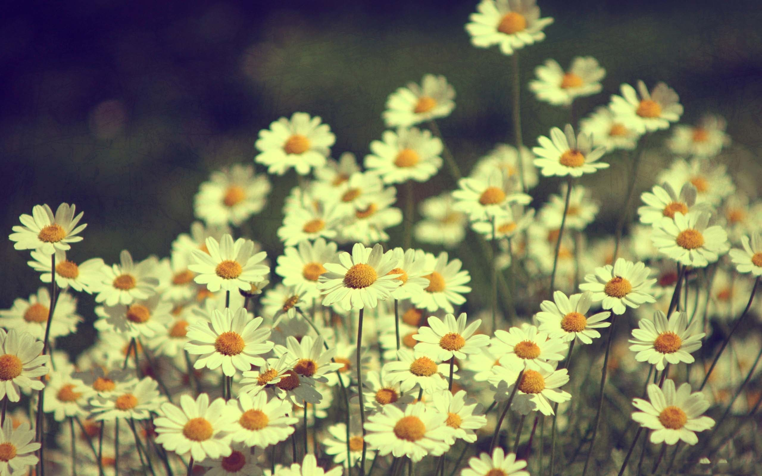 birthday and wedding flower of daisies images free