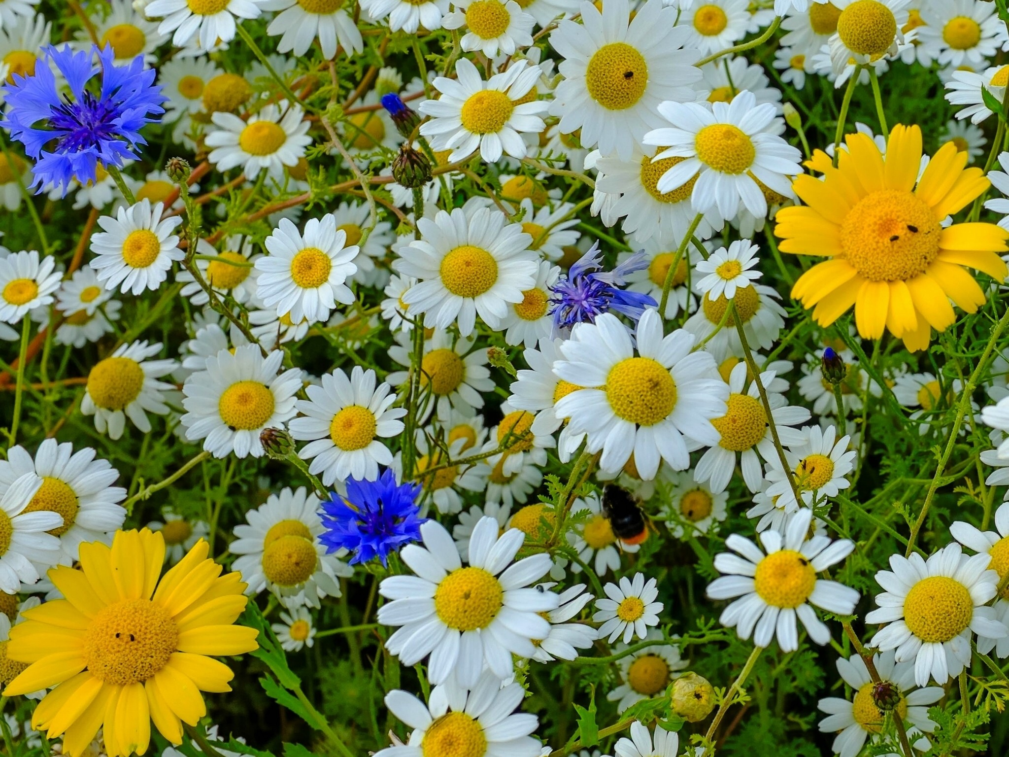 Flowers Daisies Mature Cornflowers Meadow Flower Wallpapers Download