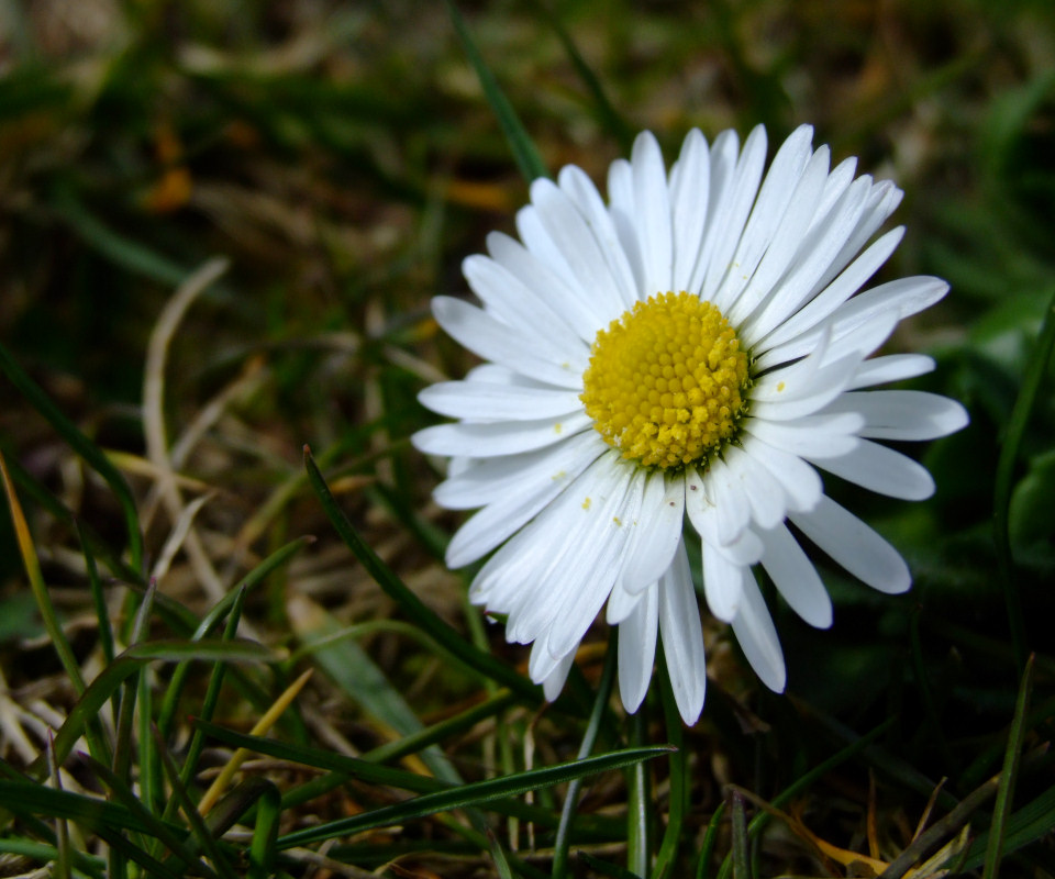 wildflower daisy irish wild flora flowers download