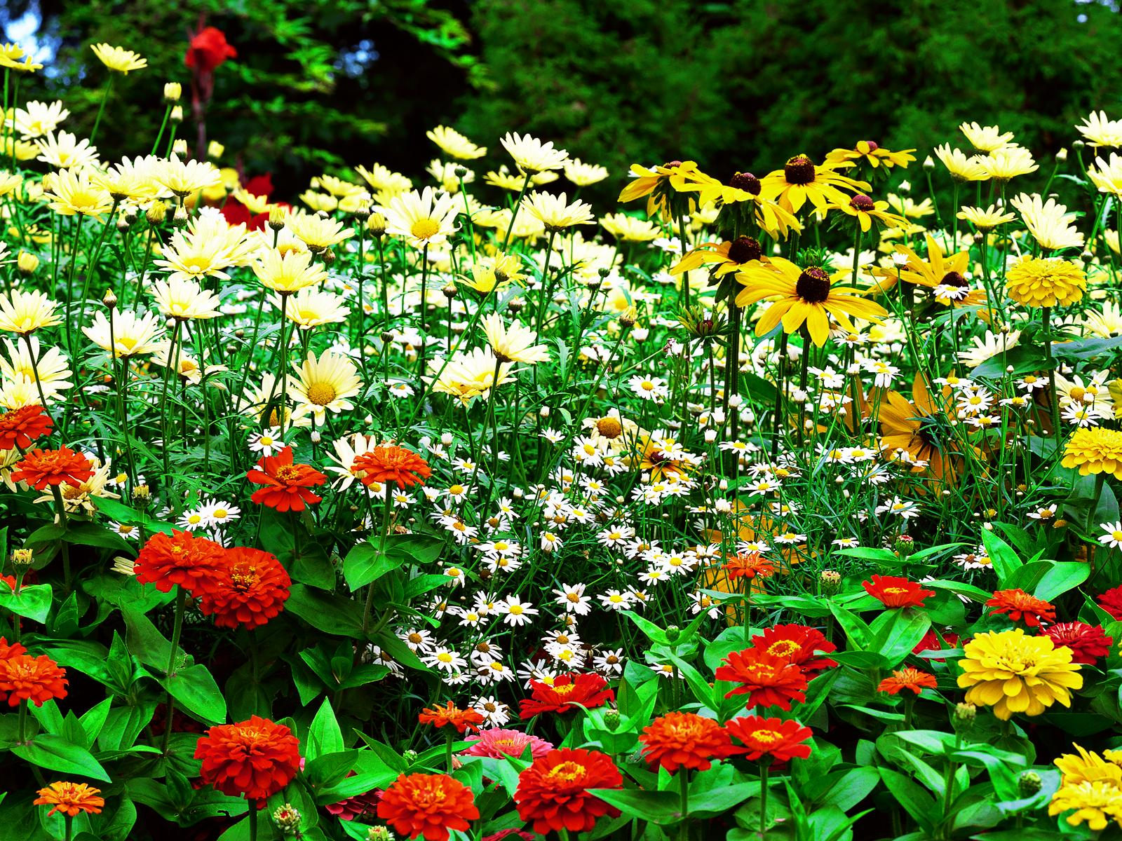 aster patience flower and sun flower garden hd pictures