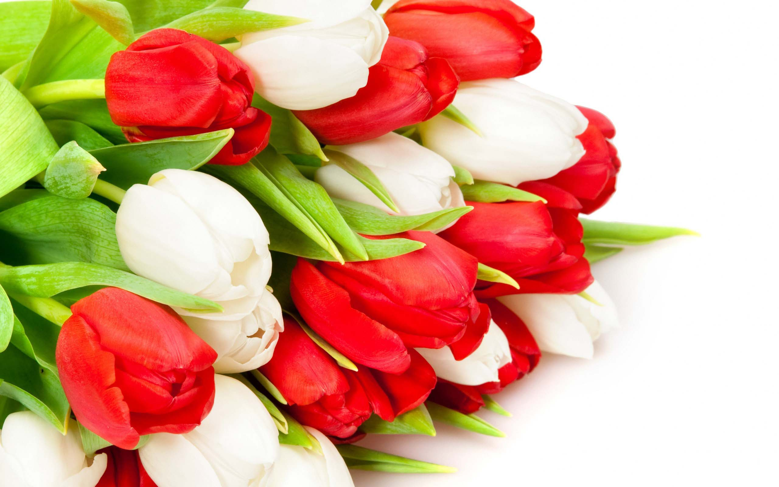 Bundal Of Red White Tulip Bud Flowers Free Highresoution Imges