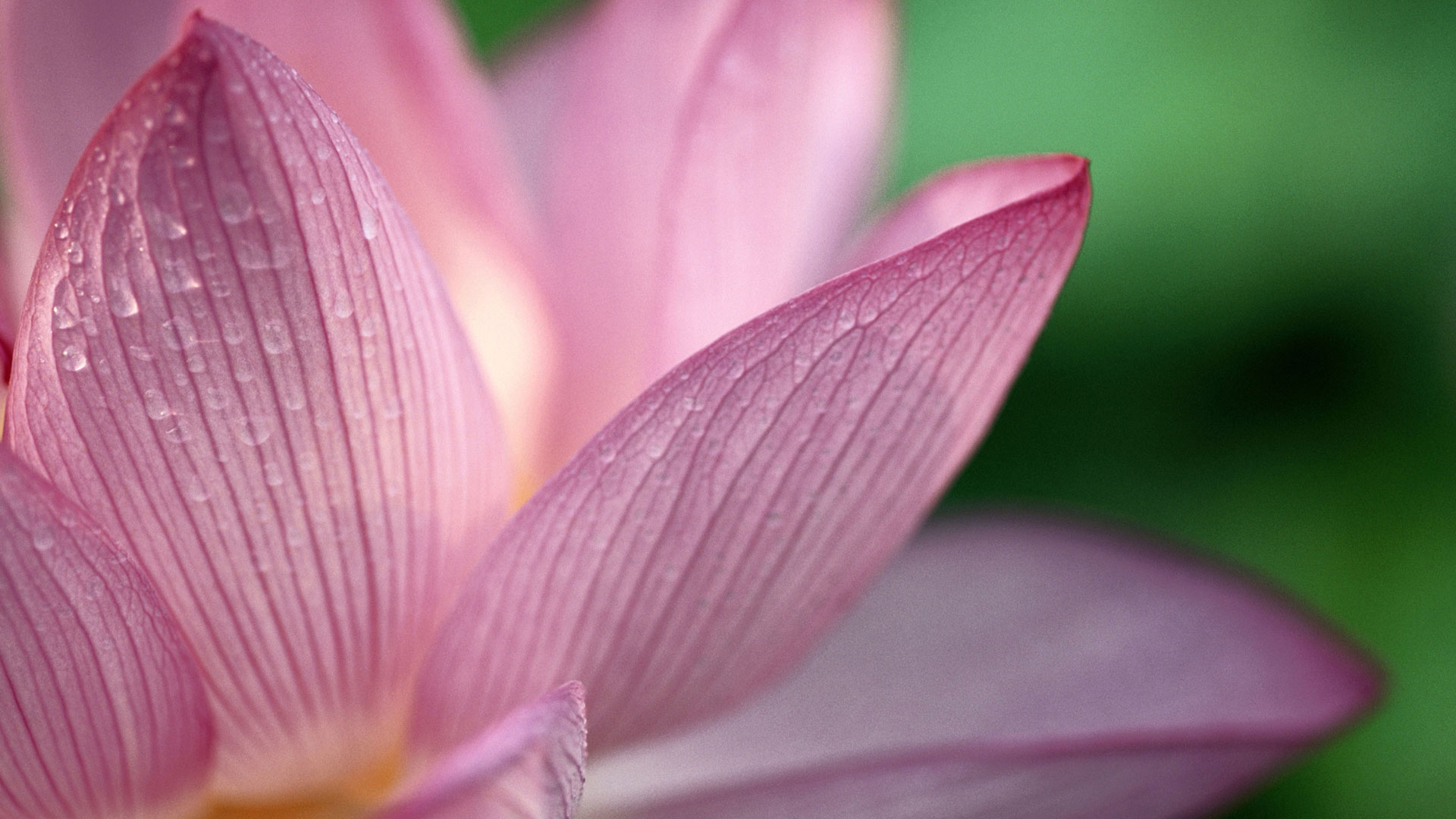Lotus Bettles Hd Flower Wallpaper Photos Free Download