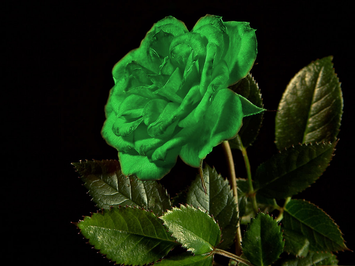 Mind Blowing Single Green Rose Hd Free Greetings