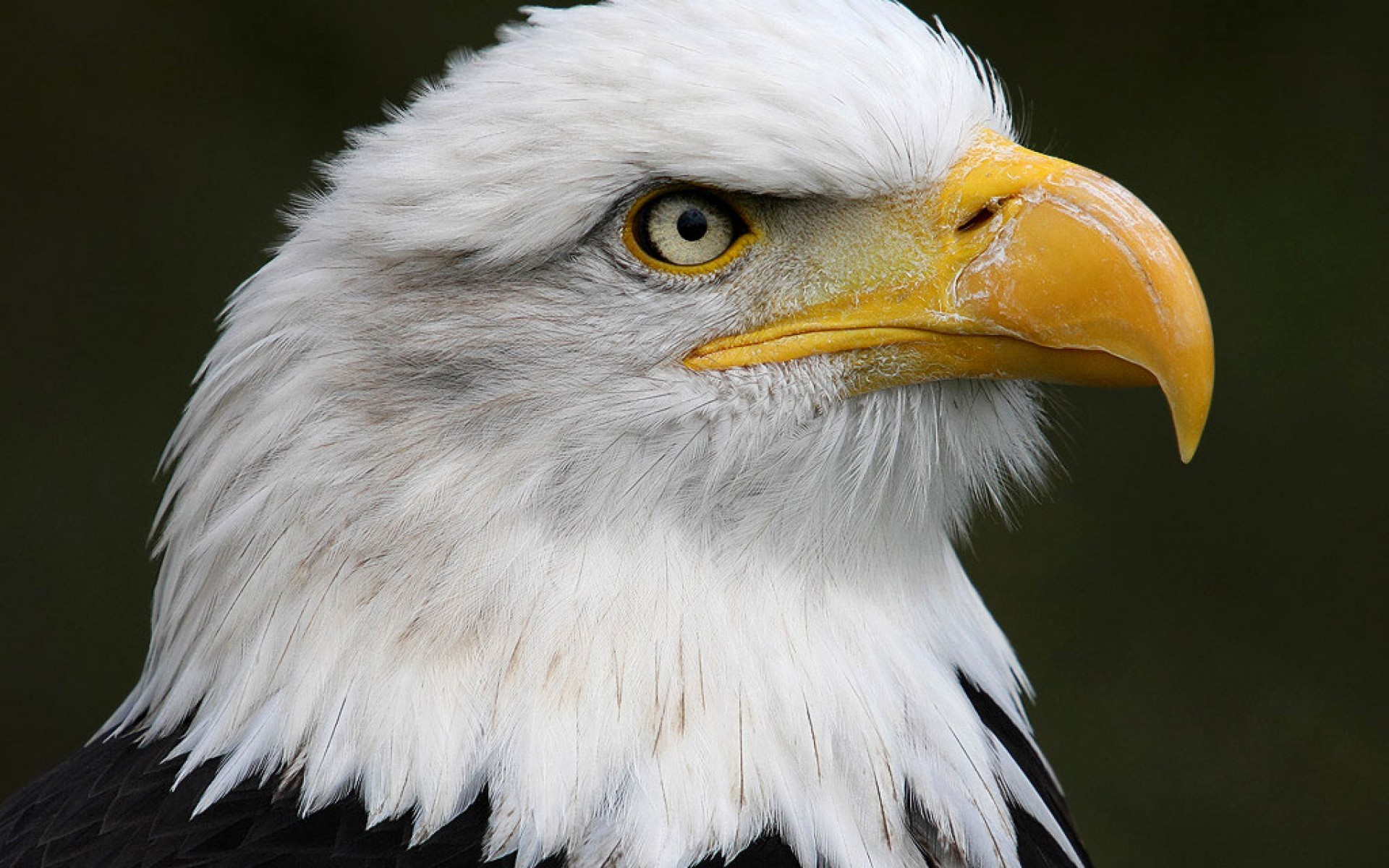 American Bald Eagle Wallpaper 001