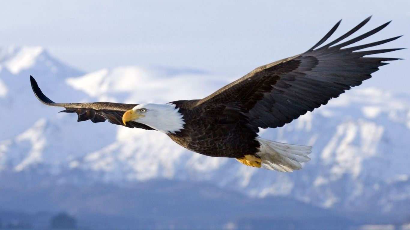 american bald eagle wallpaper 002