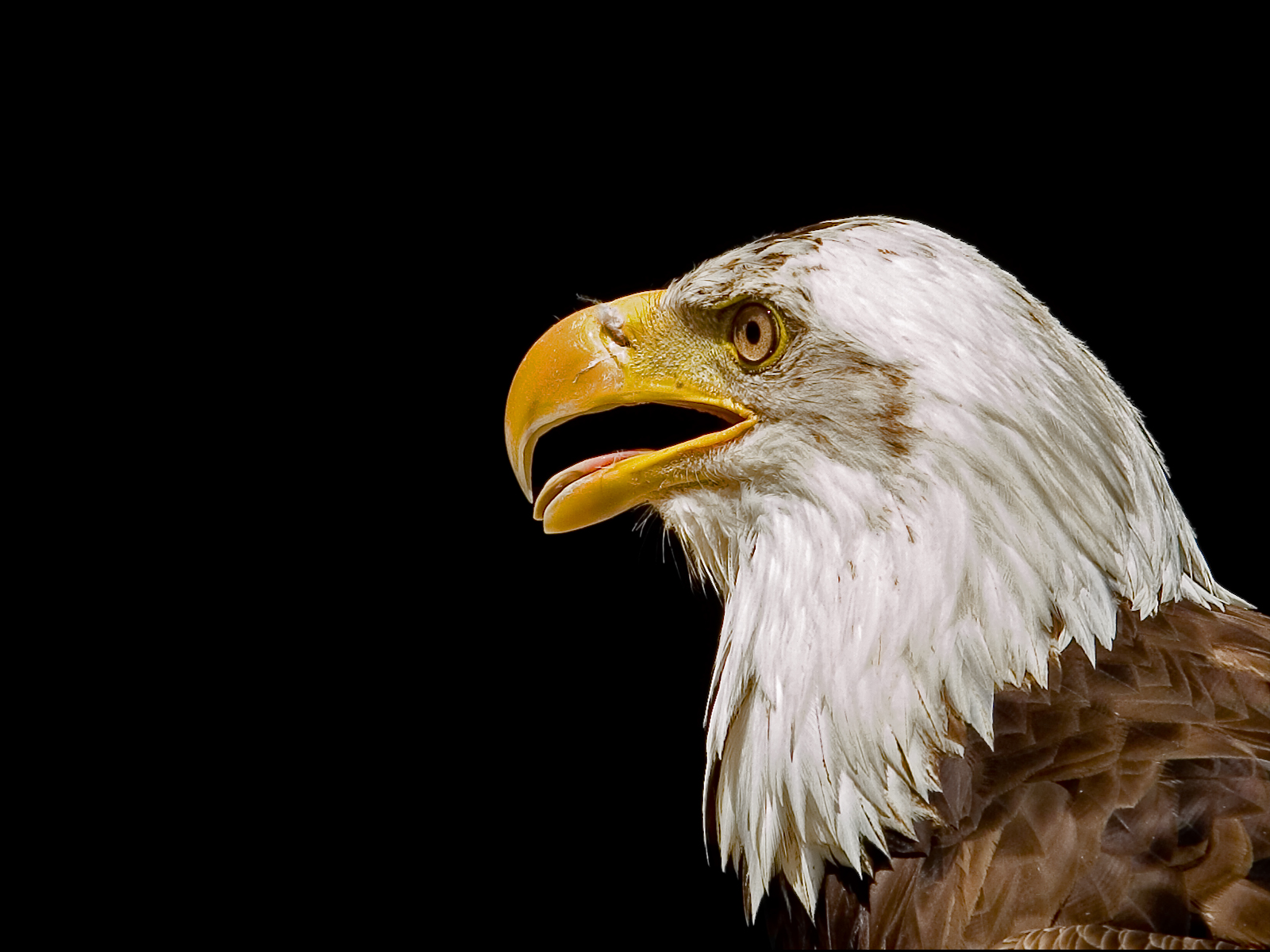 american bald eagle wallpaper 005
