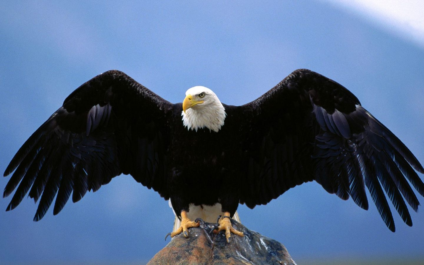 american bald eagle wallpaper 008