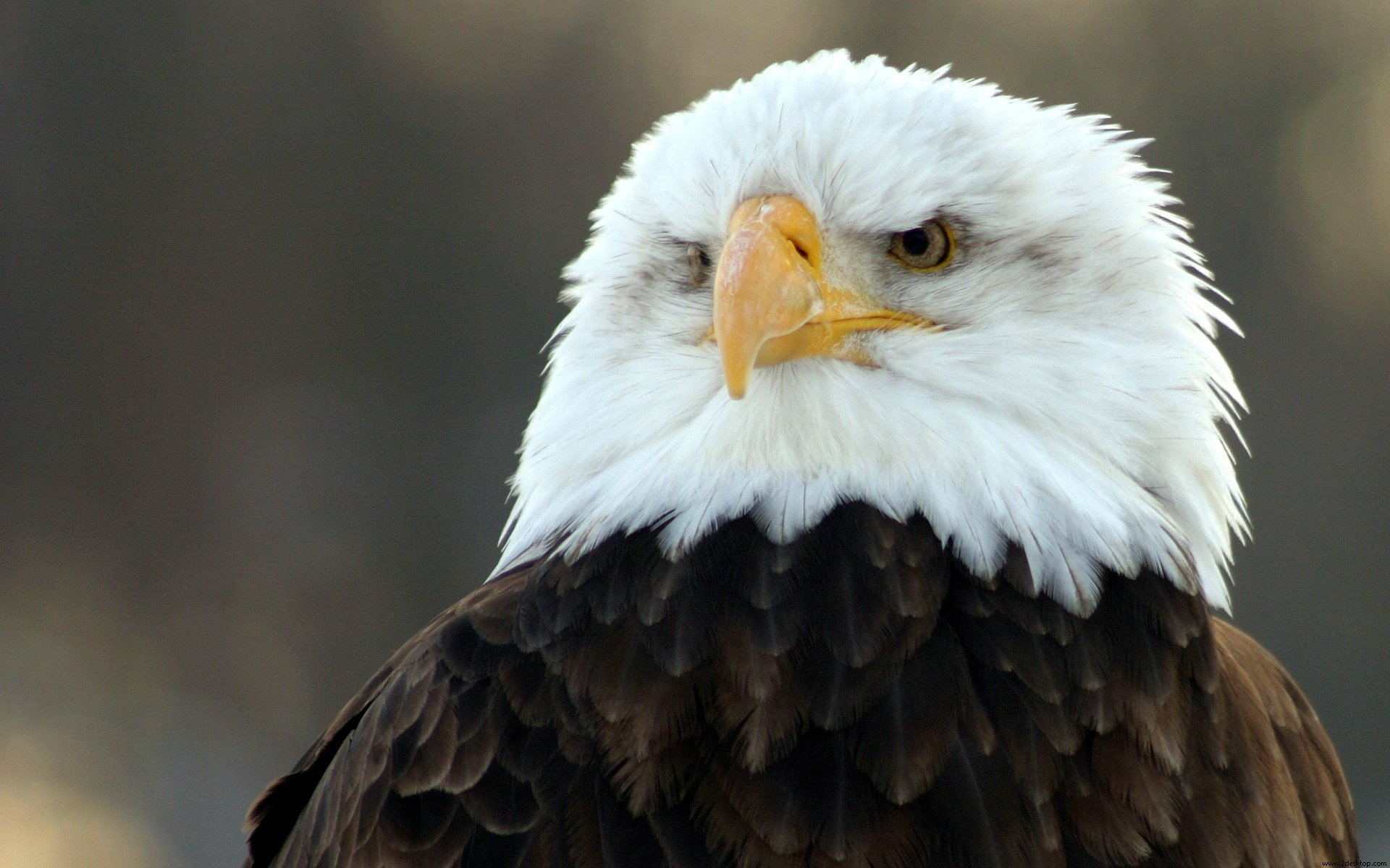 american bald eagle wallpaper 009