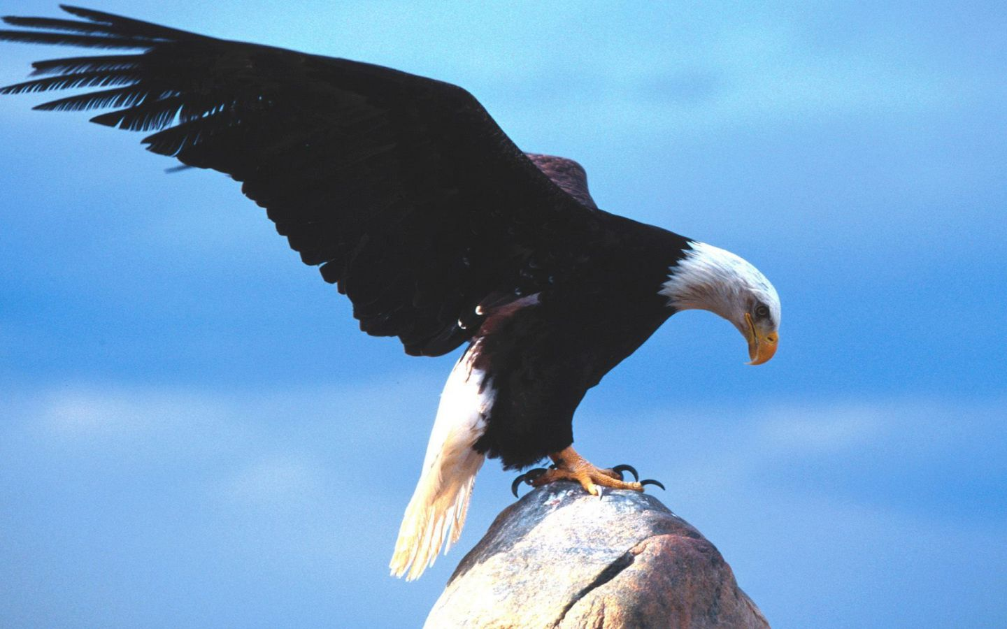 american bald eagle wallpaper 010