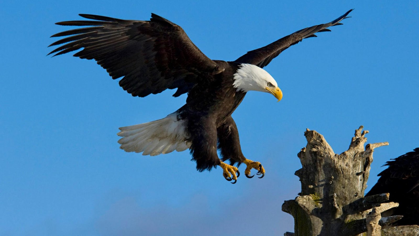 american bald eagle wallpaper 011
