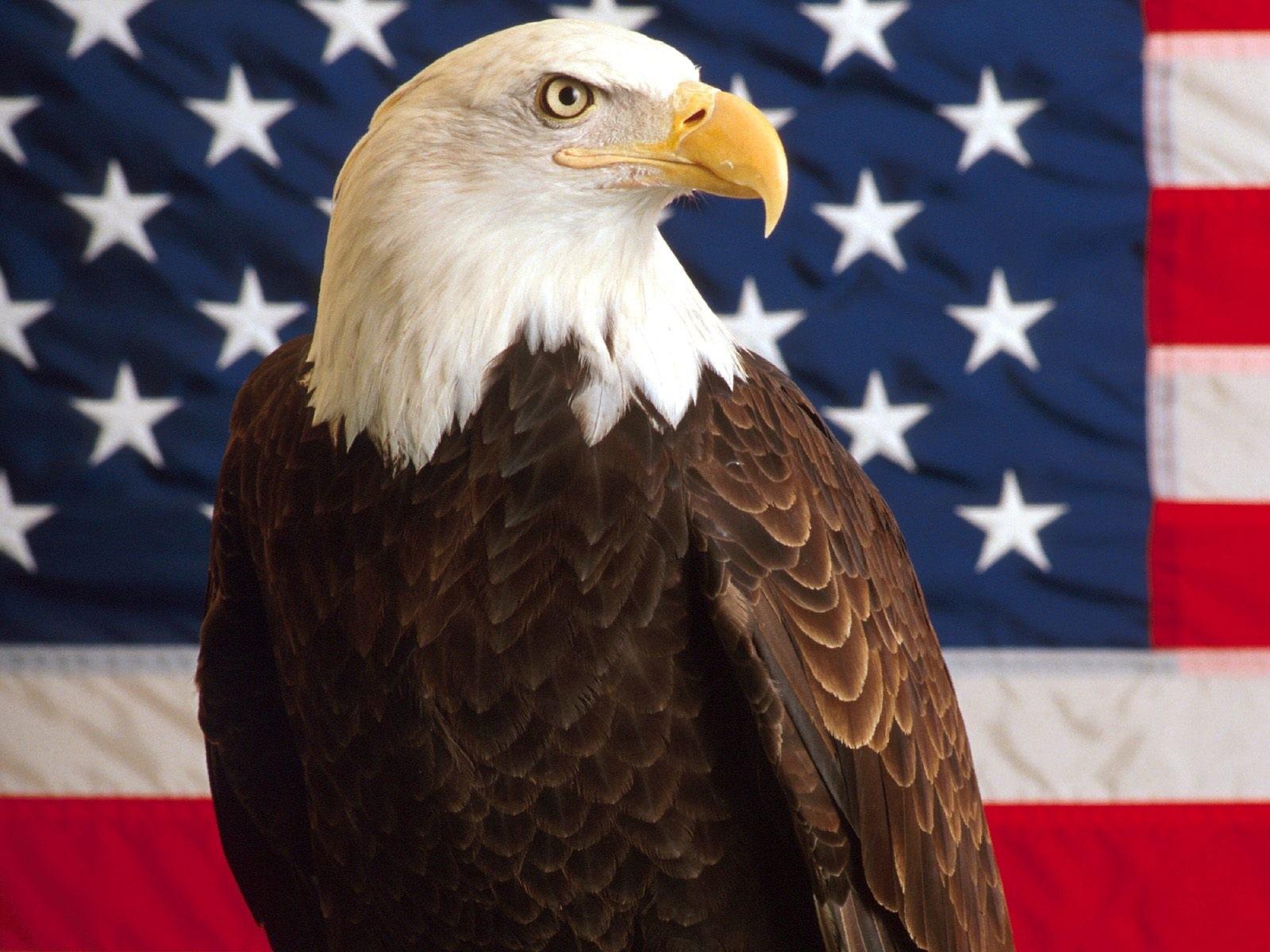 American Bald Eagle Wallpaper 013