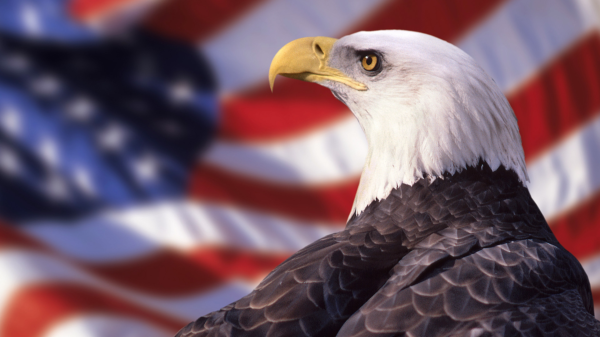 american bald eagle wallpaper 014