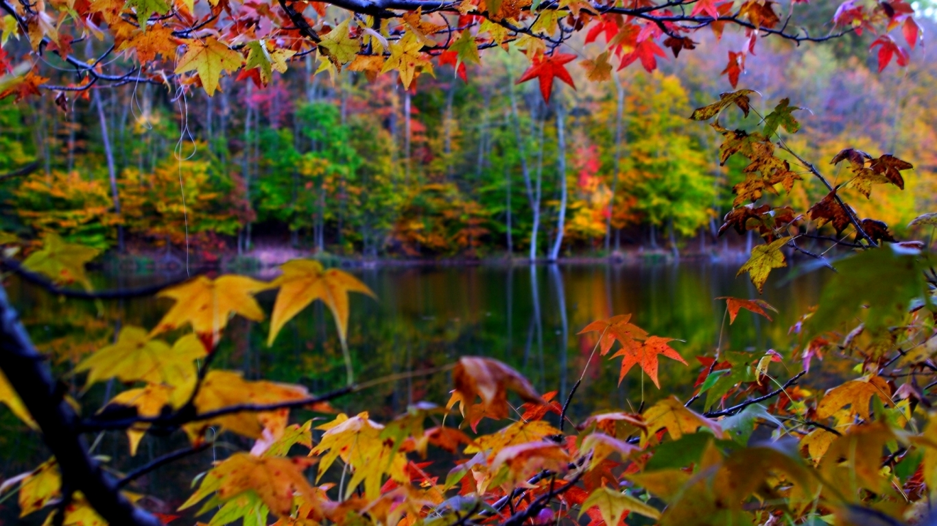 autumn sugar maple hd wallpaper picture free download