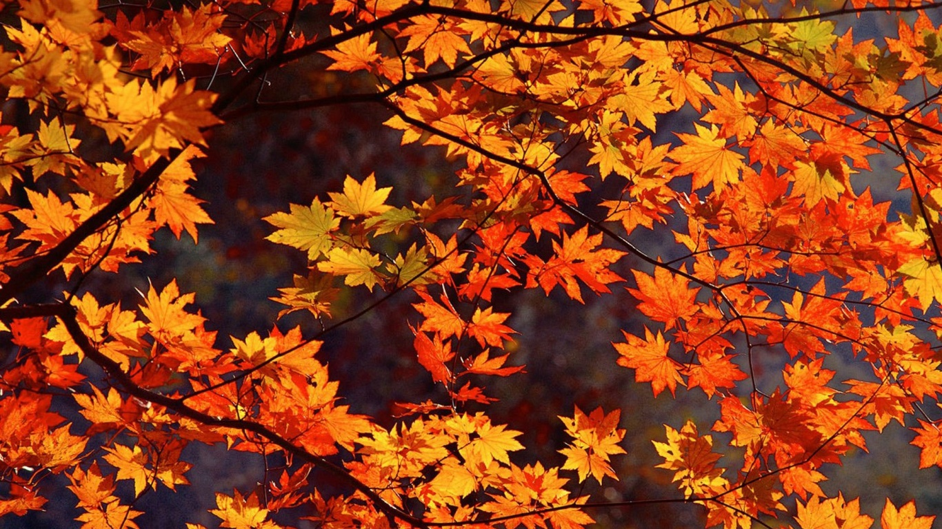 wonderful suger red and yelow maple image free download