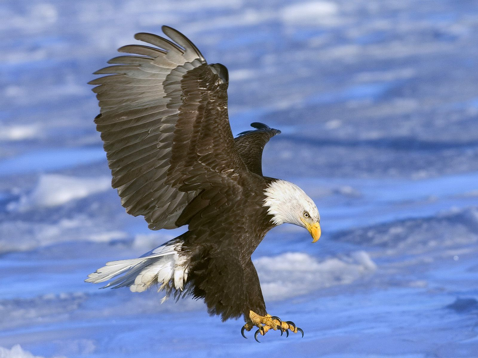 bald eagle wallpaper hd 001