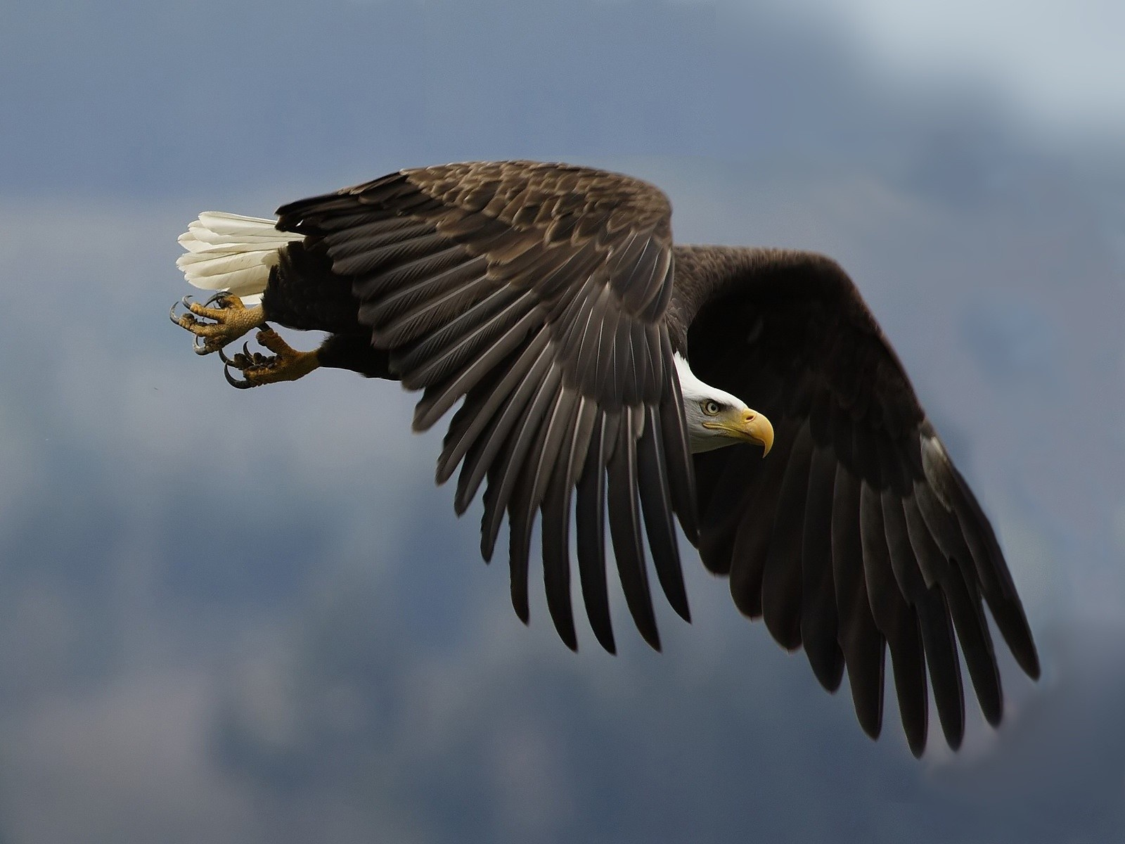 bald eagle wallpaper hd 003