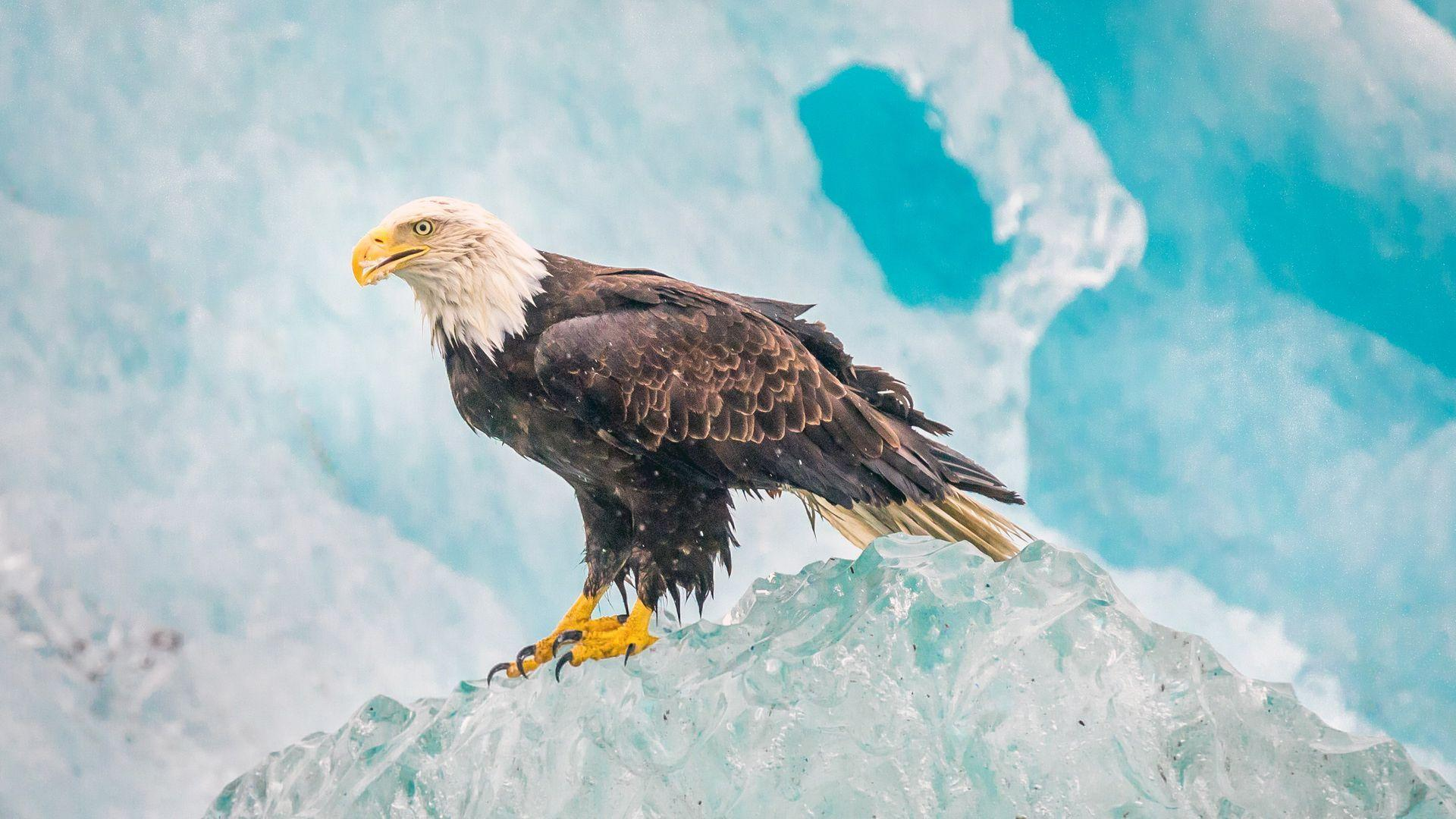 bald eagle wallpaper hd 004