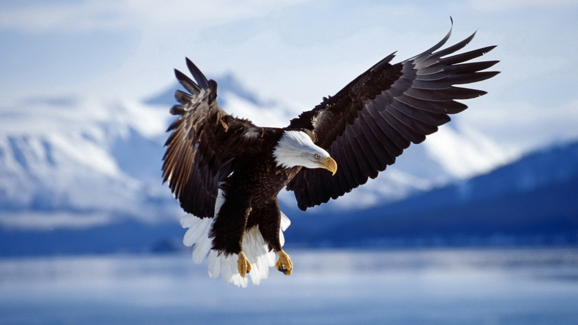 bald eagle wallpaper hd 007