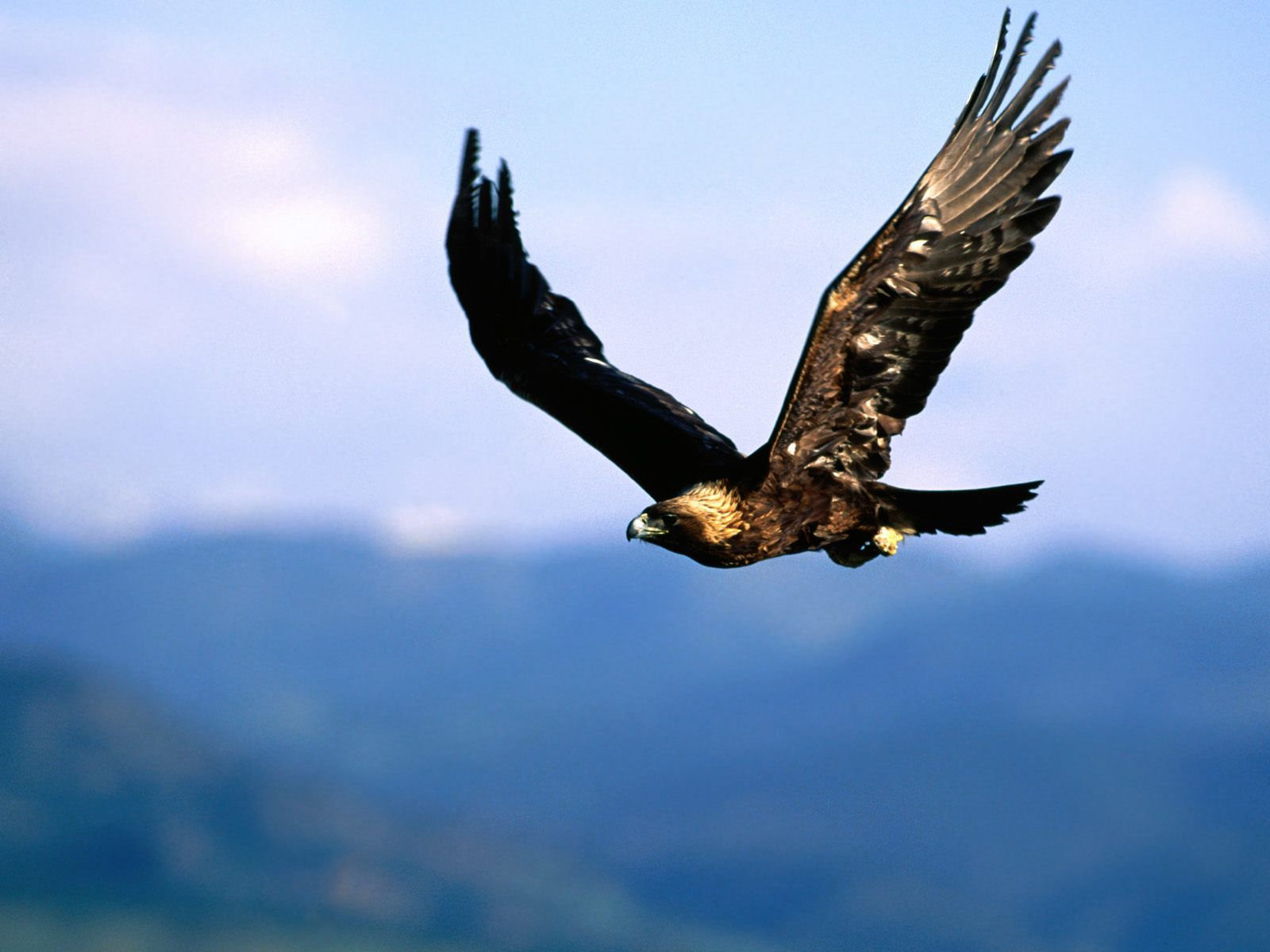 bald eagle wallpaper hd 008