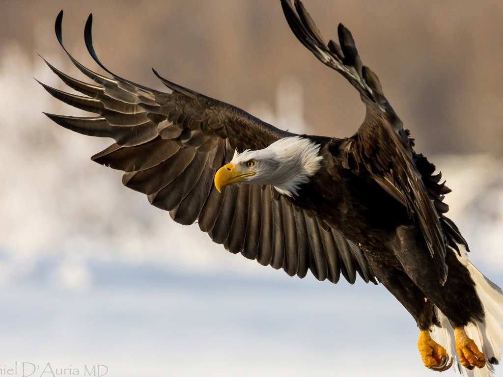bald eagle wallpaper hd 013