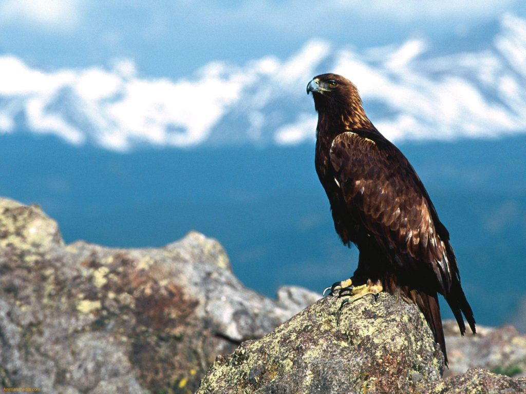 Bald Eagle Wallpaper Hd 015