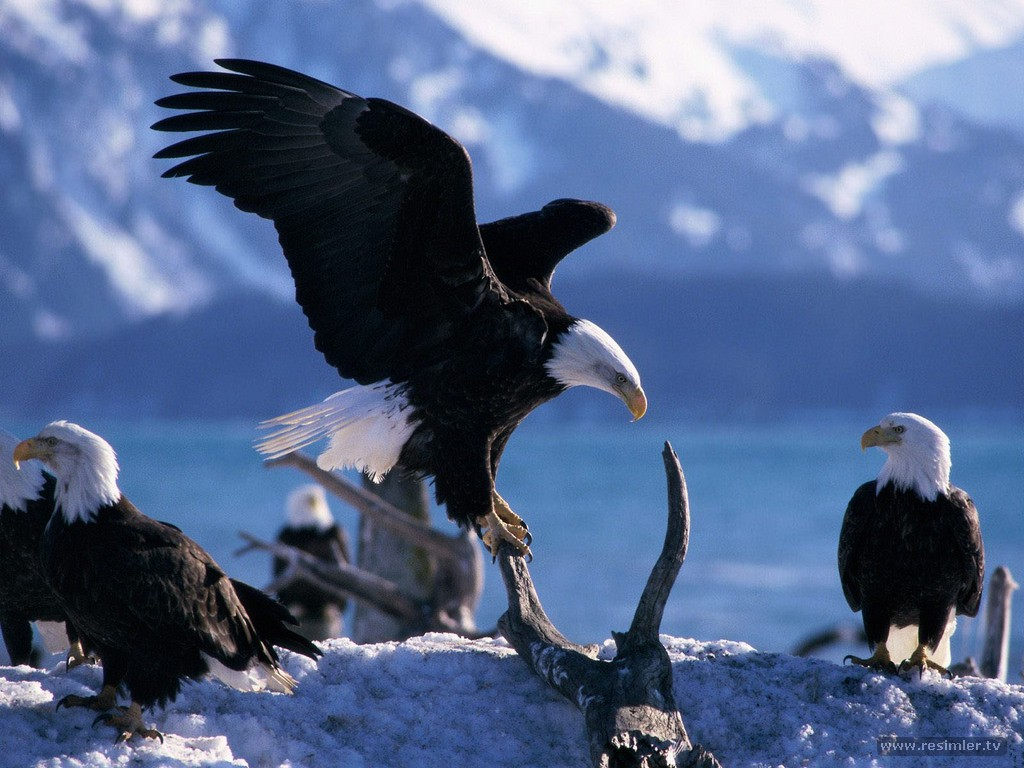 bald eagle wallpaper hd 016