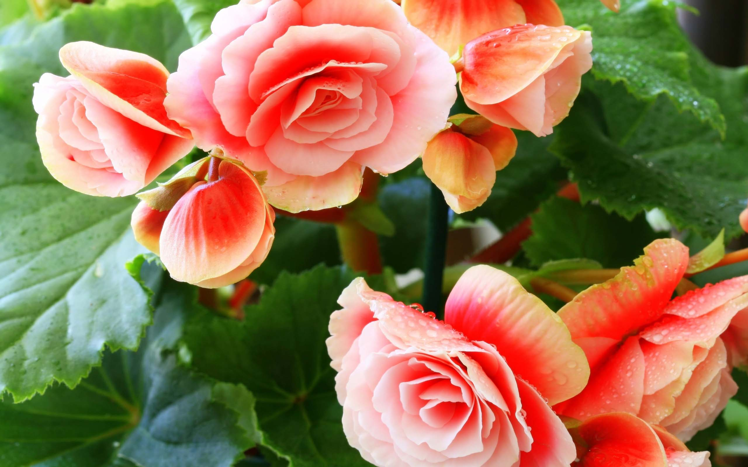 beautiful flowers begonia desktop hd pictures