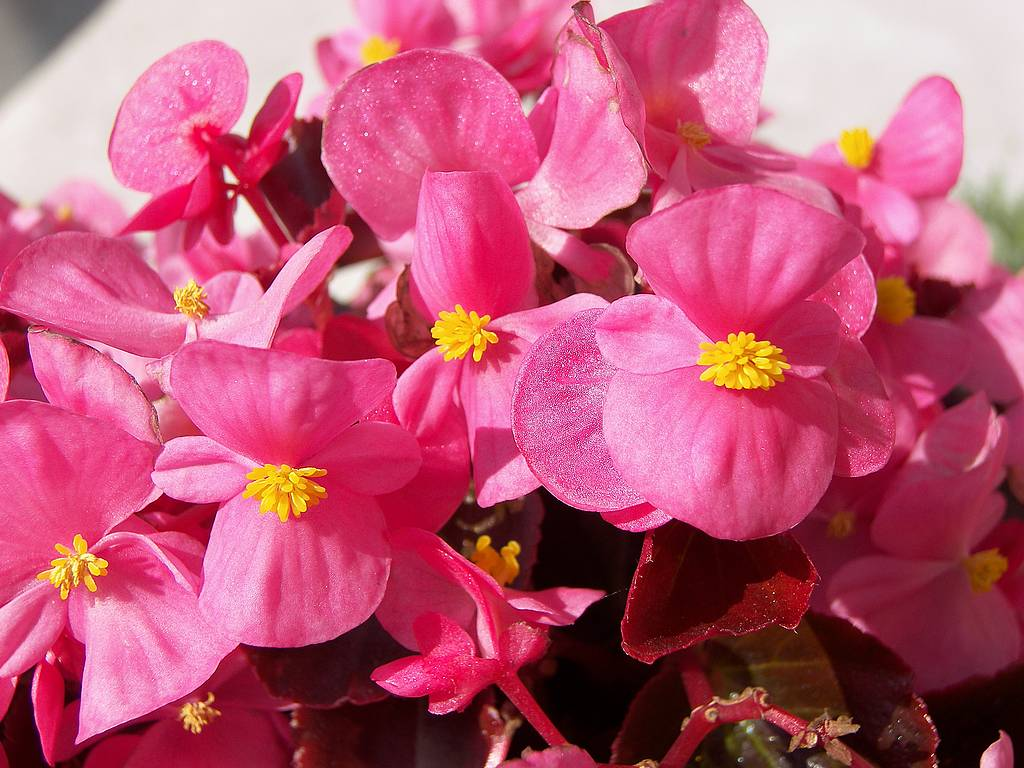 begonia semperflorence cltrum image highresoution pic free download