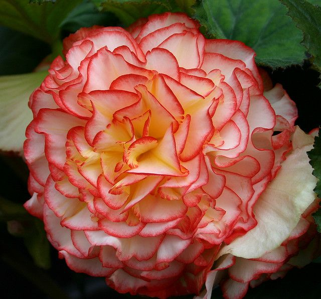 Begonia Tuberhybrida Pin Up Rose Desktop Widescreen Free Download