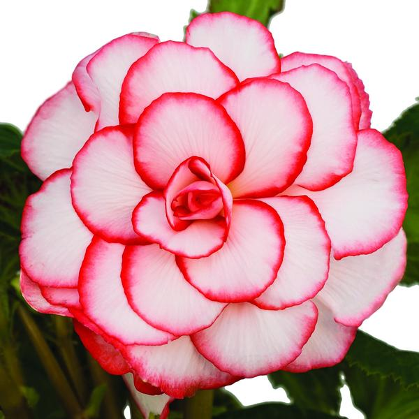 best awesome white and red outline colorful flower images free