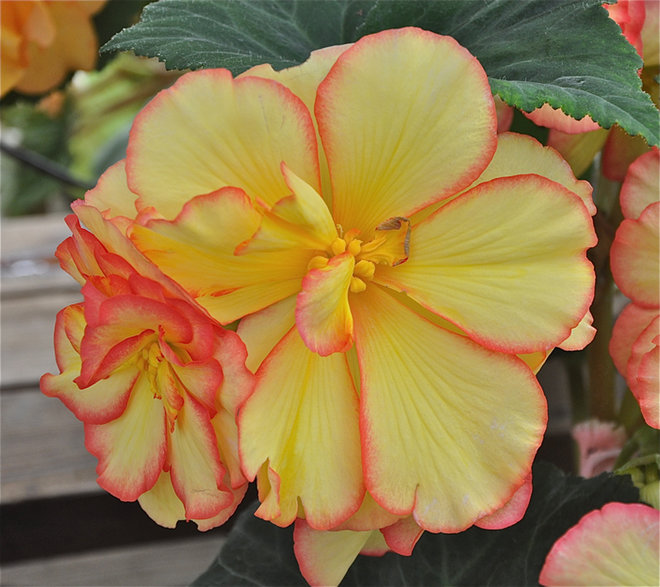 Blossoms Have Yellow Centers With Red Edges Begonia Pics