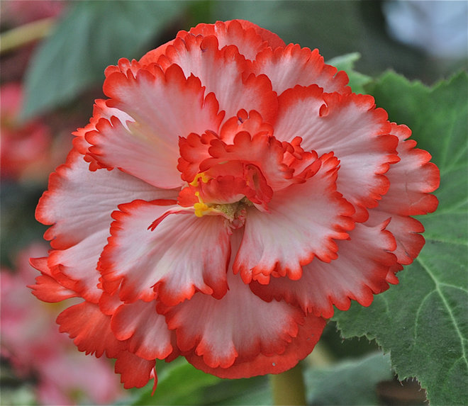 Colorful Dark Orange With White Begonia Flower Pictures Free