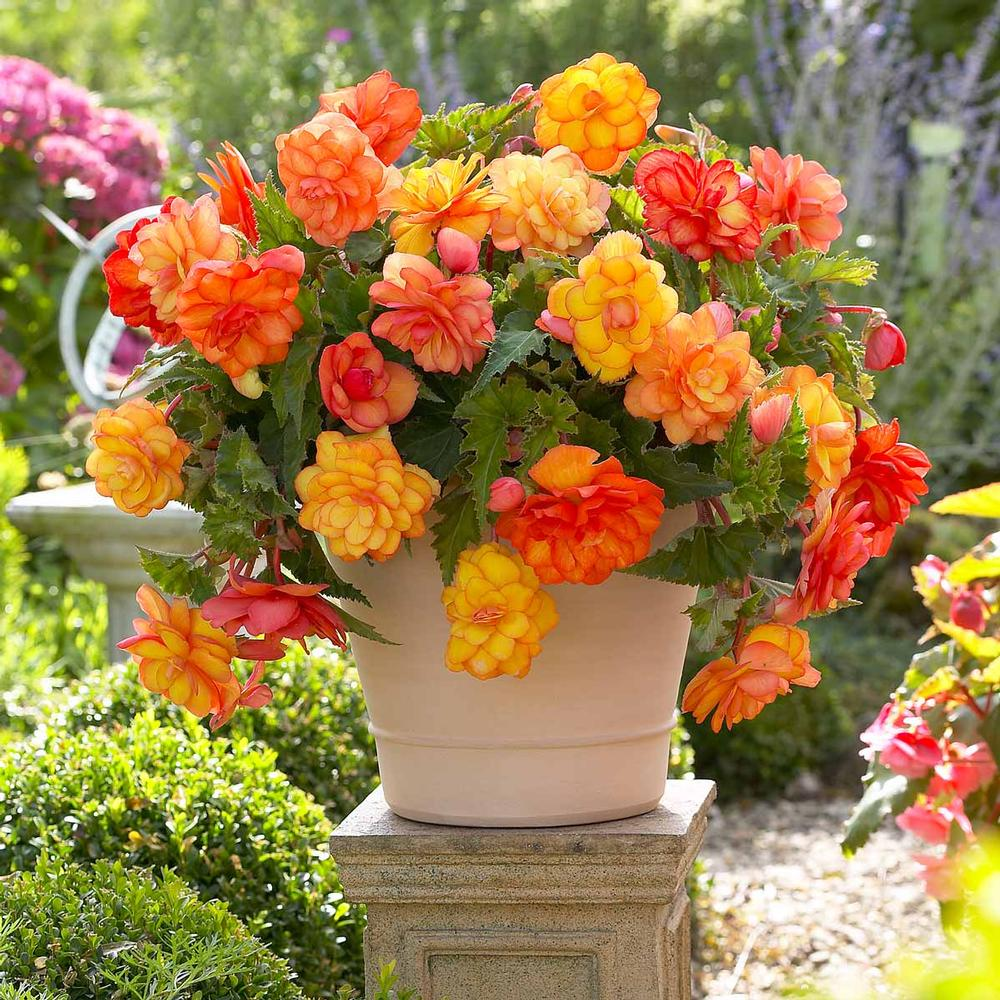 happy trails portulaca hybrid begonia flowers
