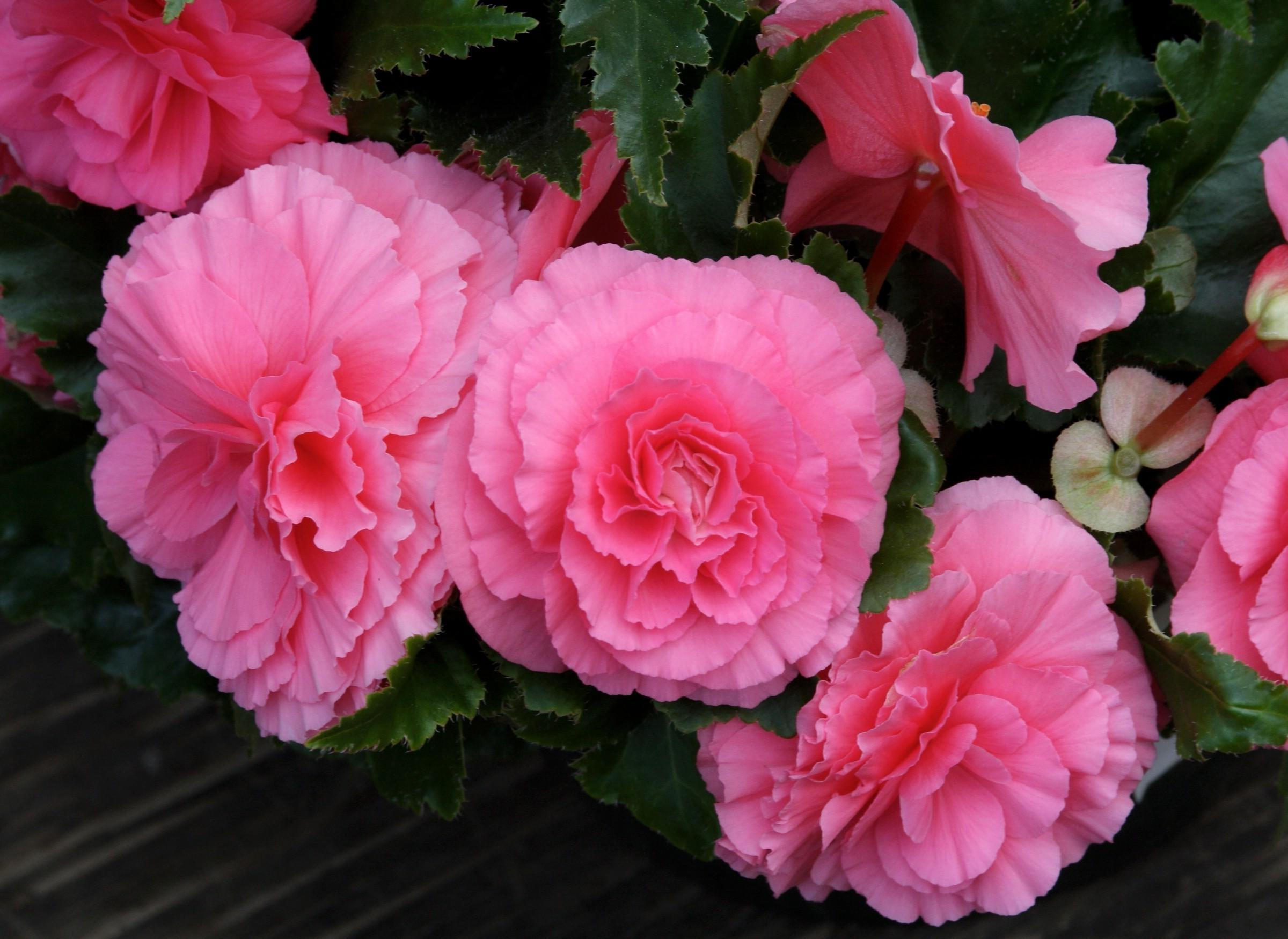 I Like Pink Beautiful Begonia Wallpaper Free Download