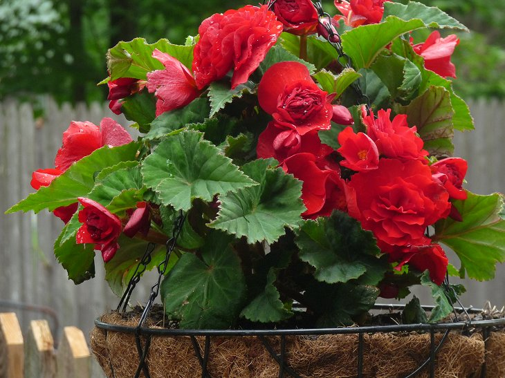 Landscape Service Bagonia Red Close Flower Free