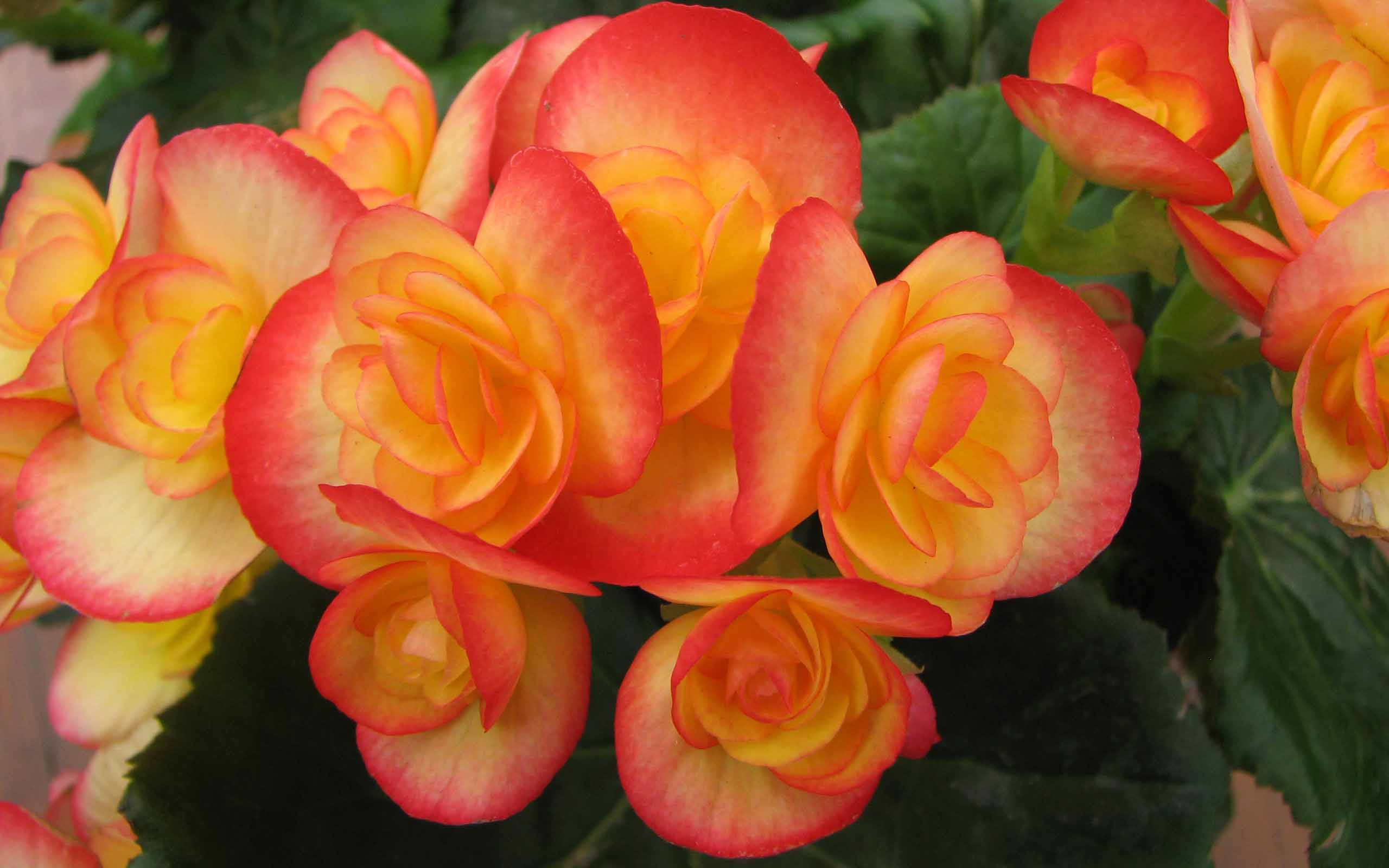 midnight beauty orange begonia flower images free download