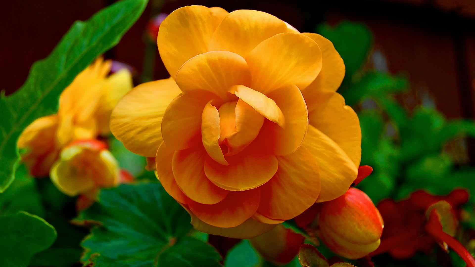 mind blowing yellow begonia flower pics free download