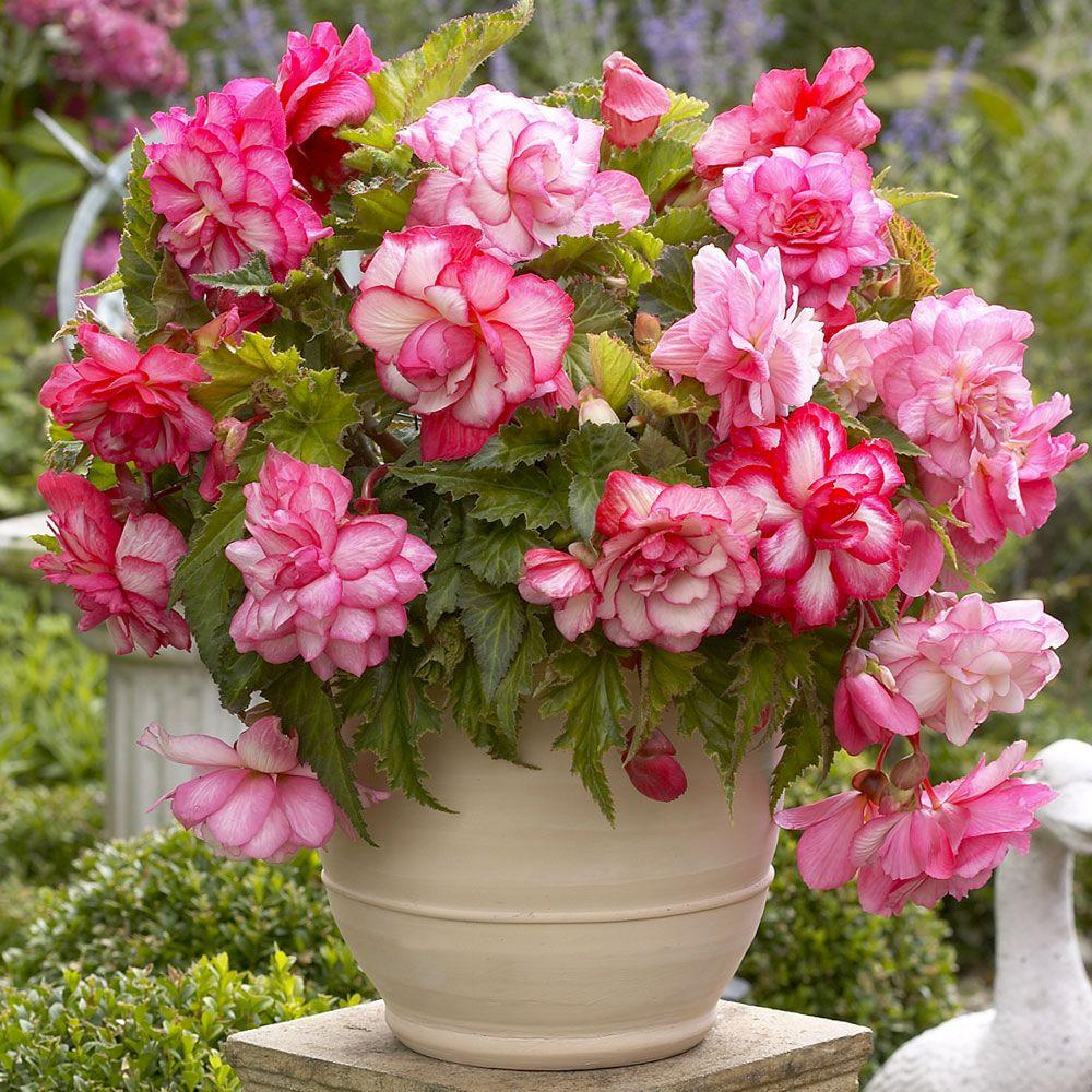 New This Spring Capogna Begonia Flower Free Images Download