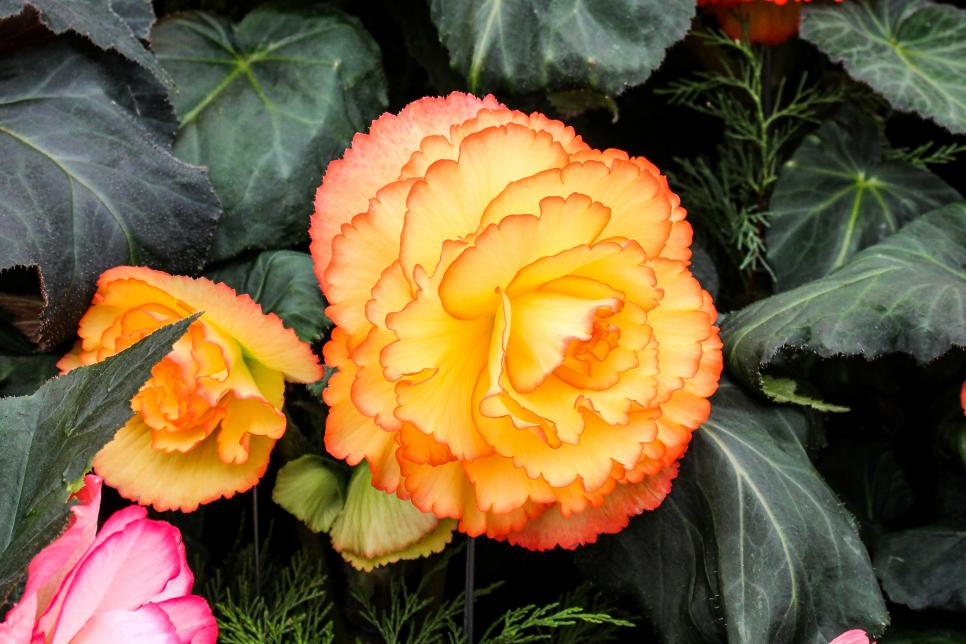 Non Stop Apricot Orange Begonia Beautiful Flower Image