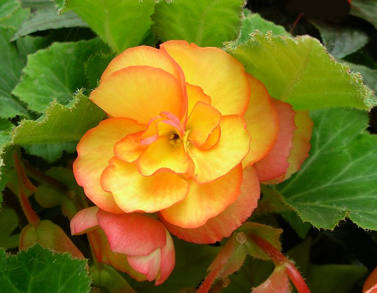 Orange Color Happiness And Life Begonia Flower