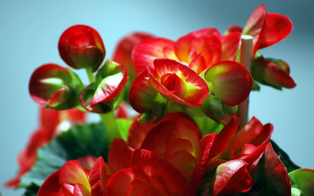 flowers | free download hd desktop wallpaper backgrounds images - page 5
