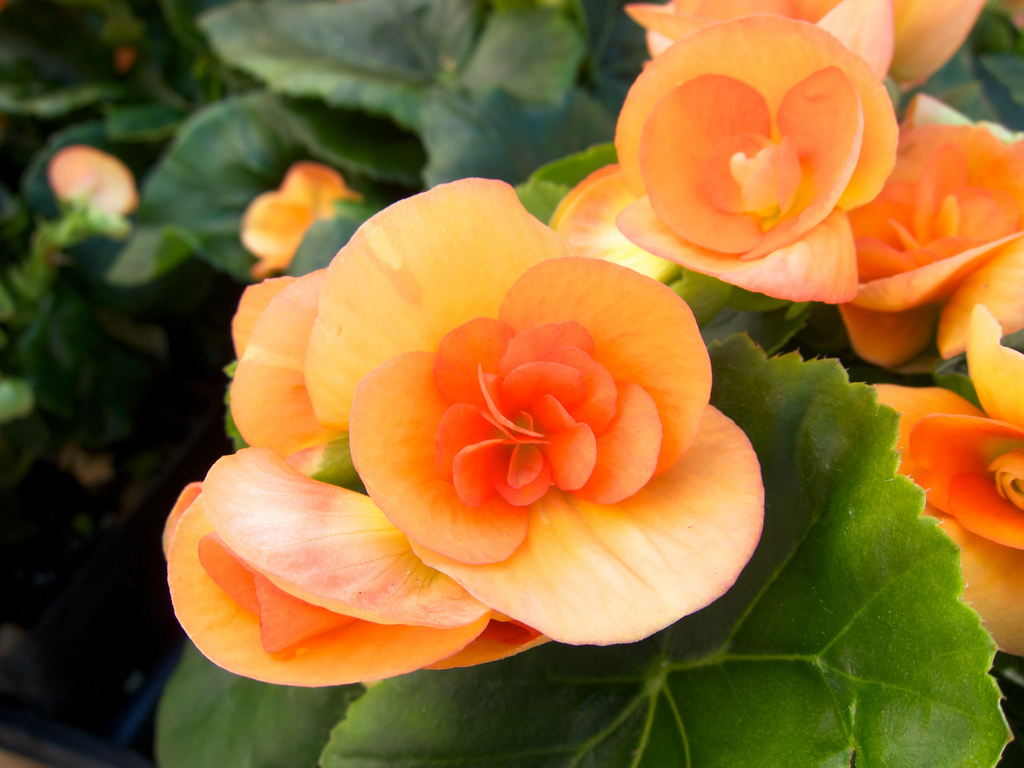 Tips And Tricks For Growing Begonia Images Free