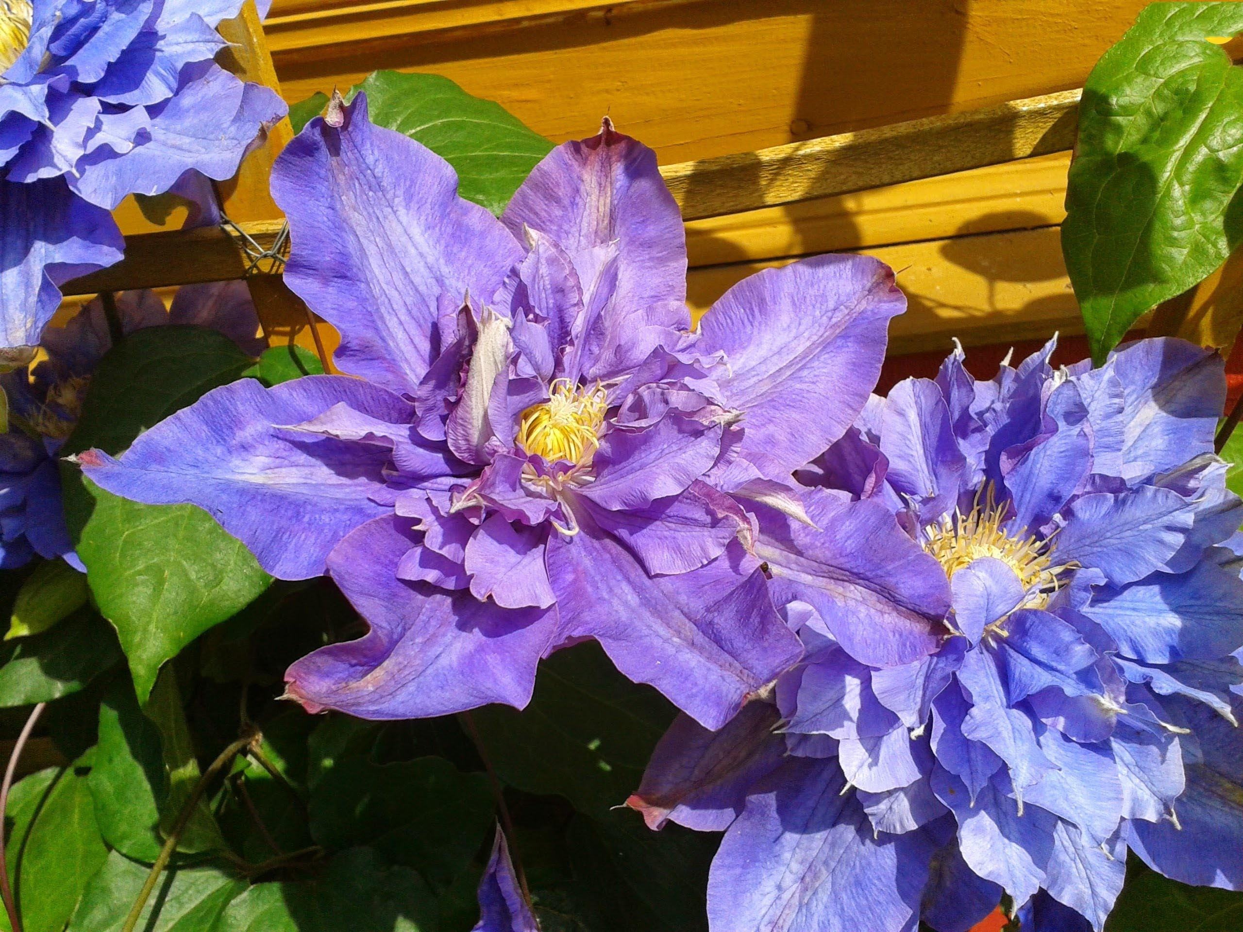 Blue Clematis Wall Wooden Images Wallpaper Download For Desktop