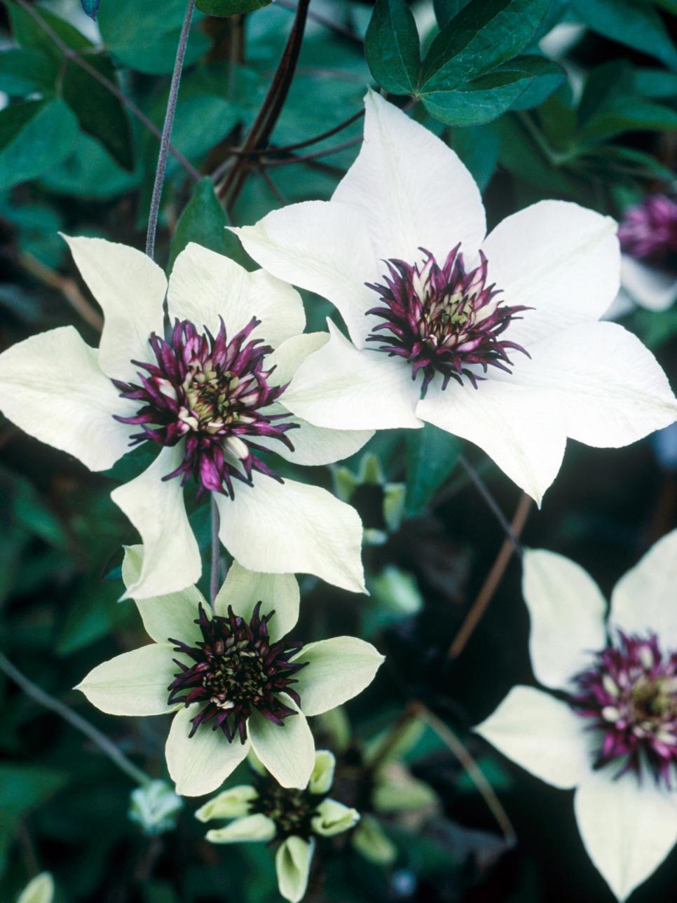 Free Exclusive Clematis Flower Scenery For Tablet
